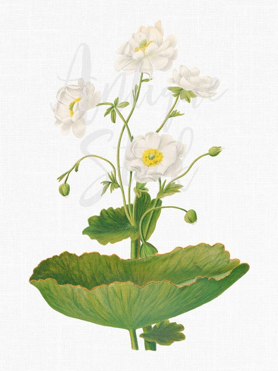 White Flowers Printable Mountain Buttercup Botanical Etsy
