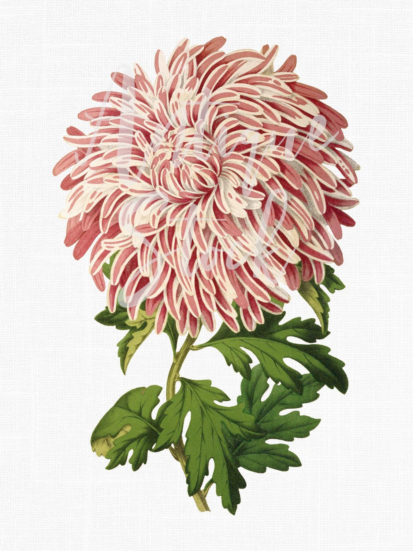 Chrysanthemum flower florists daisy instant etsy zoom izmirmasajfo