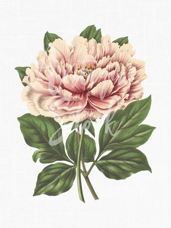 peony flower pink tree peony botanical illustration etsy