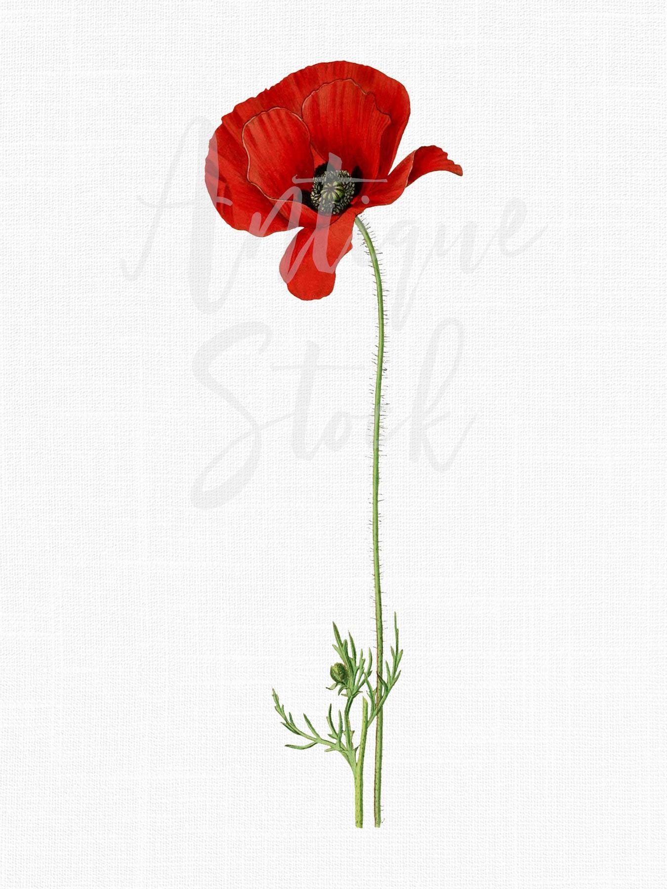 Red Flower Clipart Poppy Flower Vintage Botanical Etsy