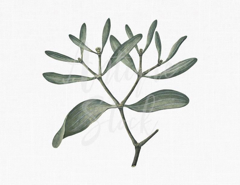 photo relating to Printable Mistletoe identified as Mistletoe Printable \