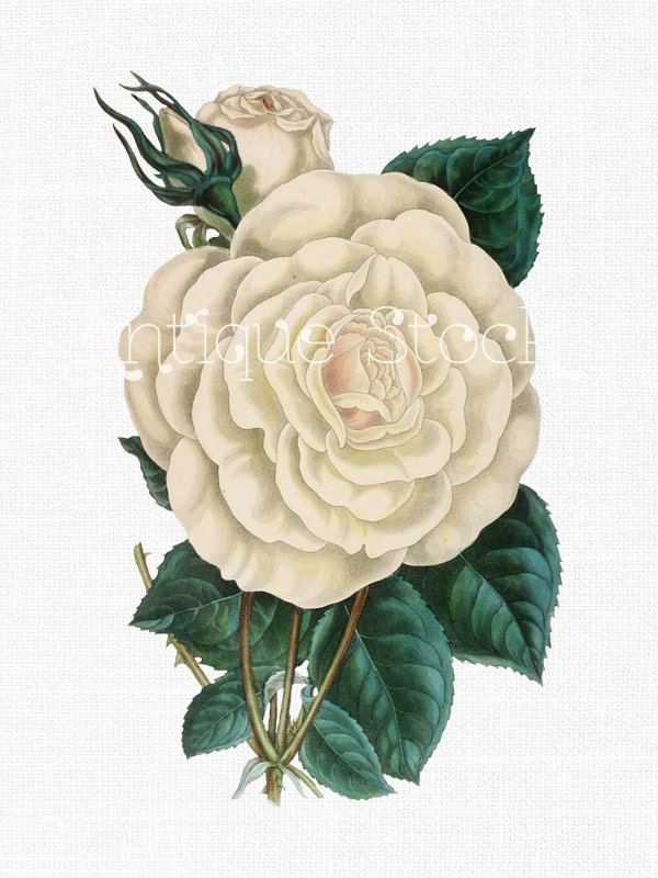 Tea Rose Clipart Black And White: Rose Clip Art 'Pearl Tea Rose' Instant Download Image