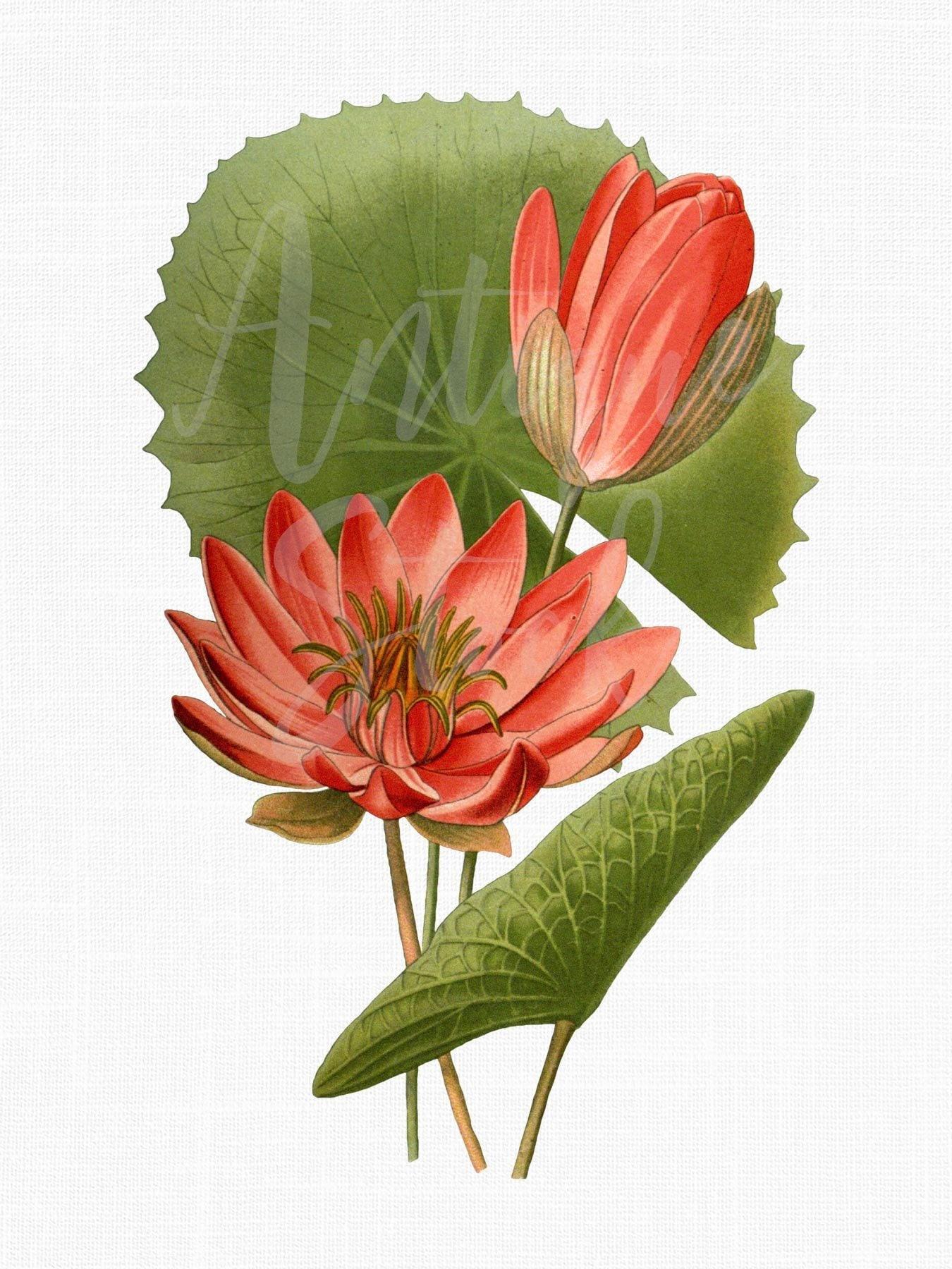 Botanical Illustration Flower Clipart Coral Egyptian Etsy