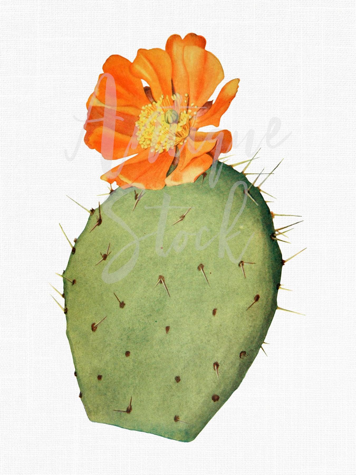 Cactus Clip Art Nopal De Cerro Old Printable Etsy Botanical Tree Ring Diagram Vintageprintable Zoom