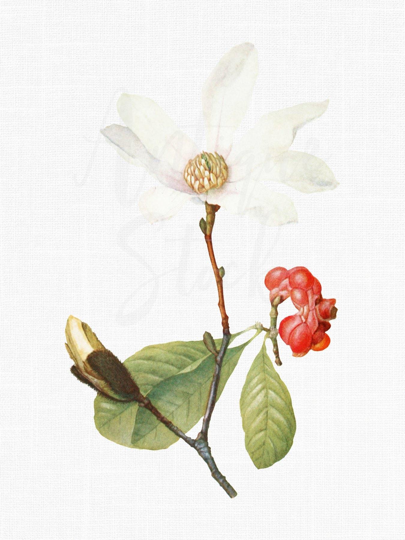 White Magnolia Flower Clipart Image Magnolia Kobus Etsy