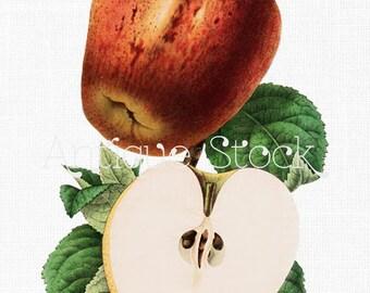 Vintage Apple Illustration 'Common Apple' Botanical Fruit Digital Download for Scrapbooking, Paper Craft, Decoupage, Invitations...