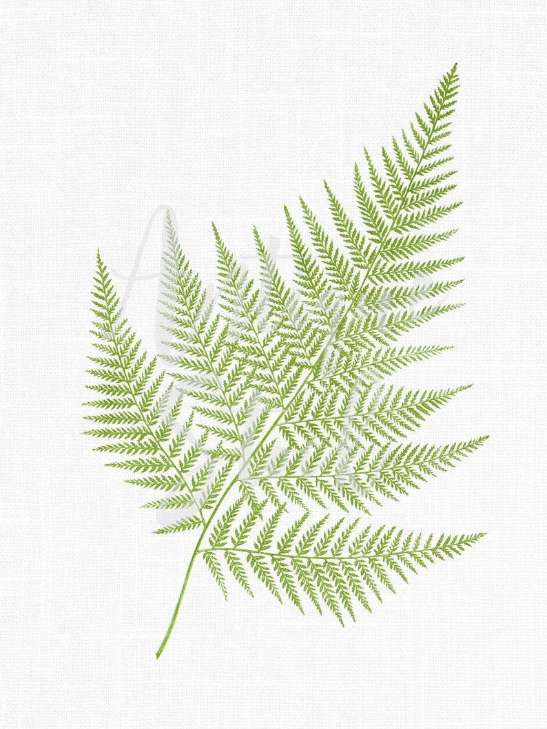 Scrapbook DIY Crafts... Collages Botanical Illustration False Shield-fern Digital Download Image for Wall Art Prints Fern Leaf Clipart