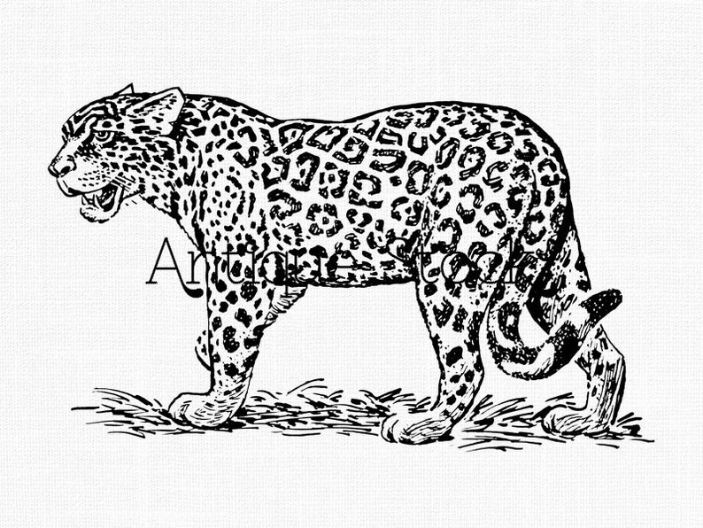 Jaguar Clipart Line Art Illustration Digital Download