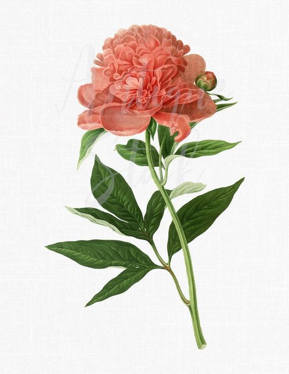 Peony Flower Digital Download Pink Common Peony Etsy