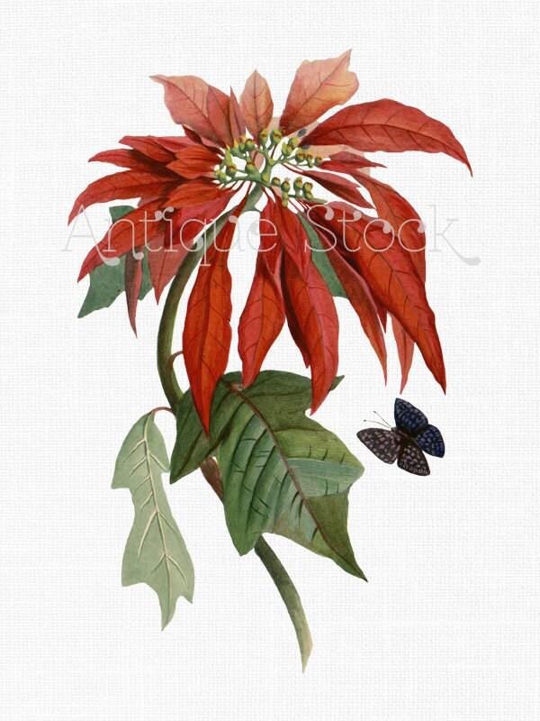 Weihnachtsstern Digital Clip Art \'Christmas Flower\'   Etsy