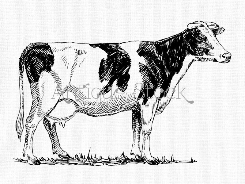 Holstein Cow Clipart Printable Graphics And Images