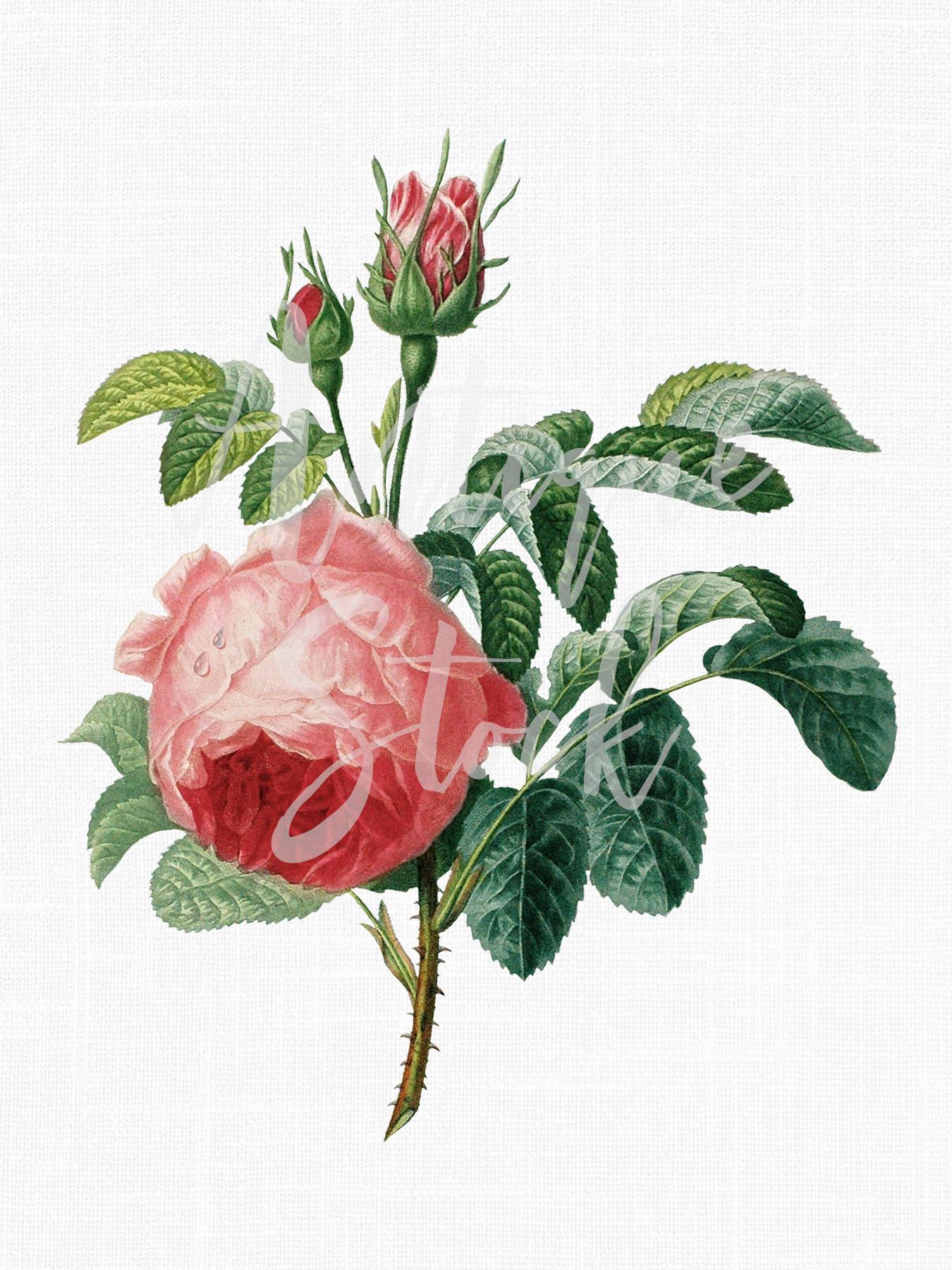 Rose Clipart Pink Moss Rose Botanical Flower Etsy