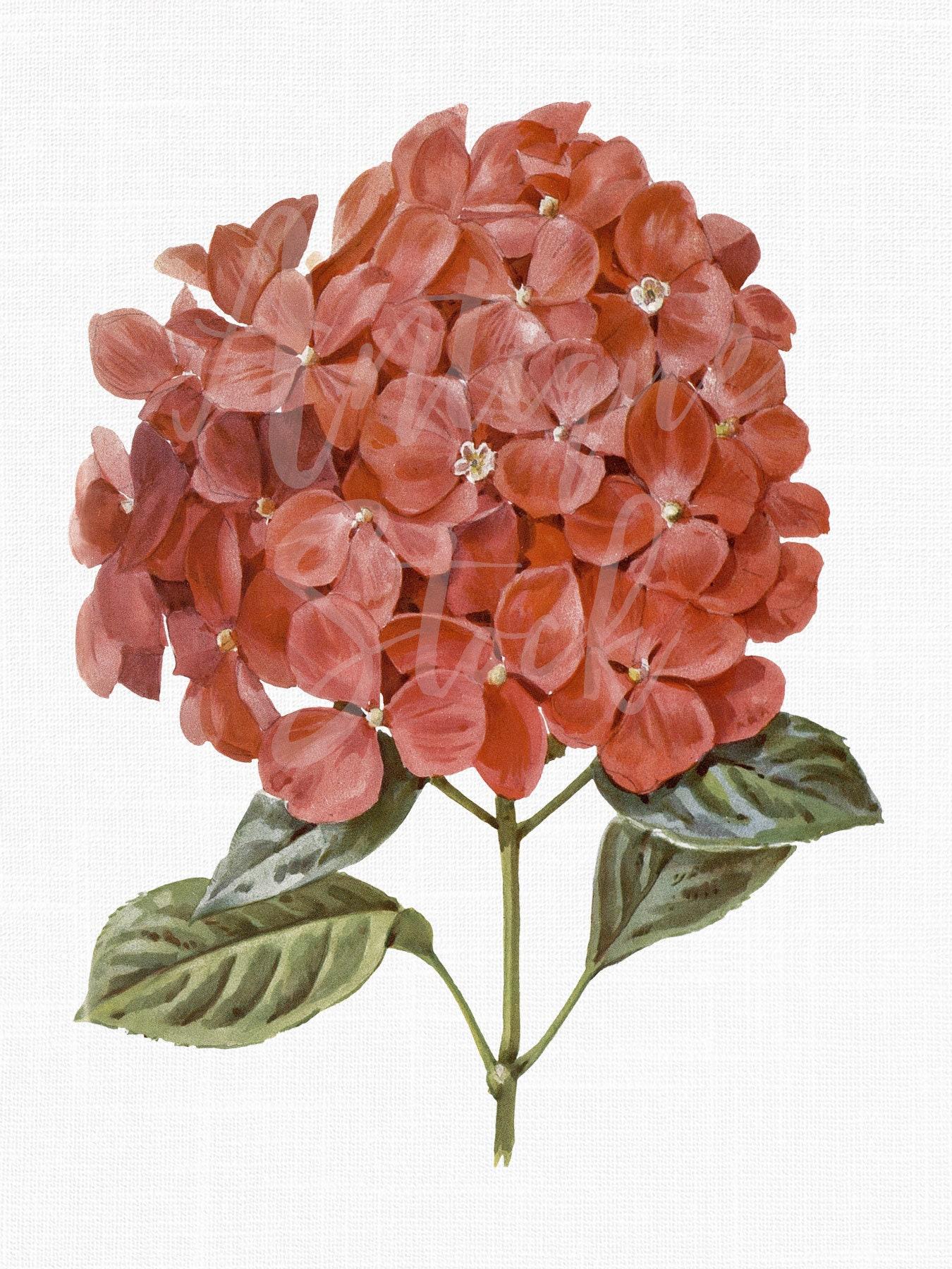 Flower Clipart \'Red Hydrangea\' Digital Download | Etsy