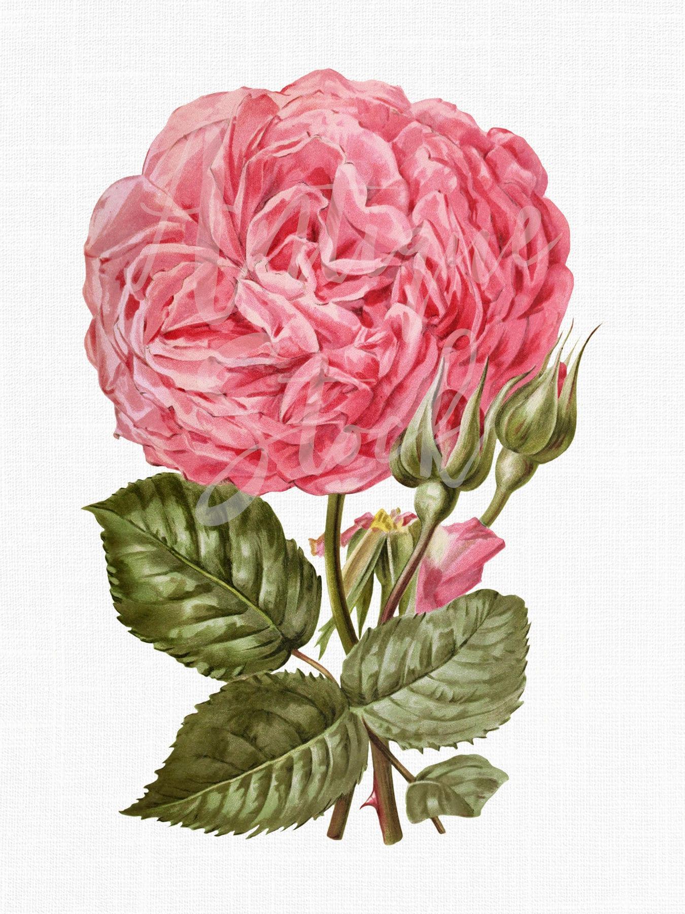 Rose Clip Art Flower Image Botanical Illustration Mme Etsy