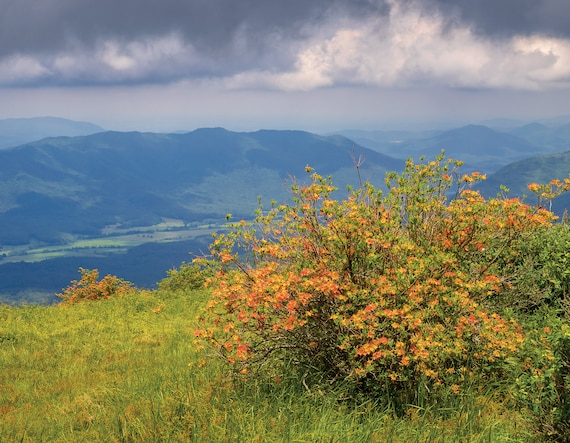 Flame Azalea on Gregory Bald