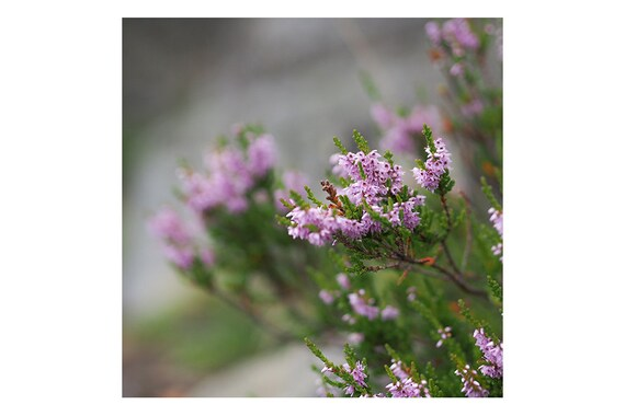 Heather Flower Photo Summer Forest Print Square Print Etsy