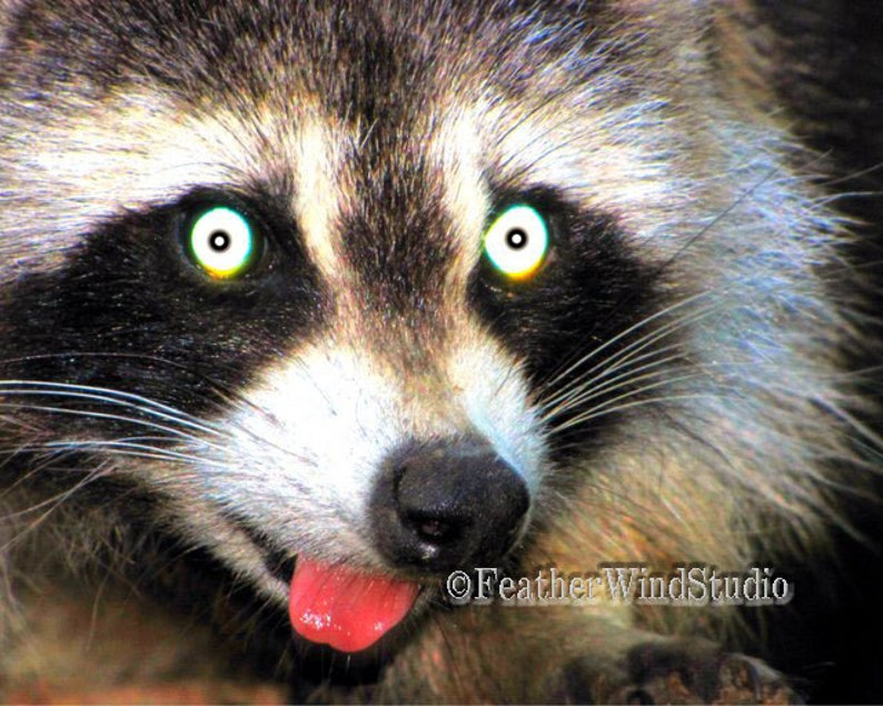 Cute Animal Photography | Funny Raccoon Face | Night Photo Print | Nursery  Kids Room Wall Art | Racoon Home Decor | Altered Pic | Face Print