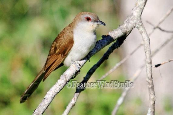 Bird Photography Black Billed Cuckoo Rain Crow Brown
