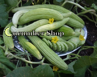 24 Armenian Cucumber Seeds
