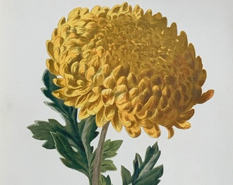 """Circa 1900 Original Vintage Flower Botanical Chrysanthemum Lithograph Print, Mounted And Matted In A Choice Of Colours - 10 x 8"""""""
