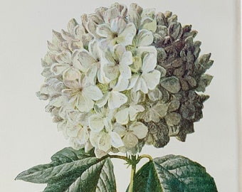 """Circa 1900 Original Vintage Botanical Guelder Rose Hydrangea Flower Lithograph Print, Mounted And Matted In A Choice Of Colours - 10 x 8"""""""