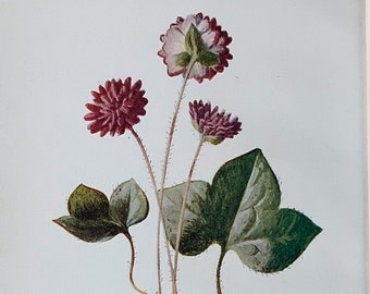 """Circa 1900 Original Vintage Botanical Hepatica Flower Lithograph Print, Mounted And Matted In A Choice Of Colours - 10 x 8"""""""