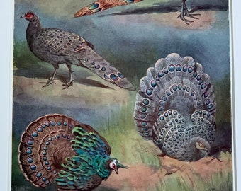 12 x 10 Inches 1951 Original Vintage Lithograph Bird Print Of Gallopheasants Mounted And Matted In Black Or White Ready To Frame