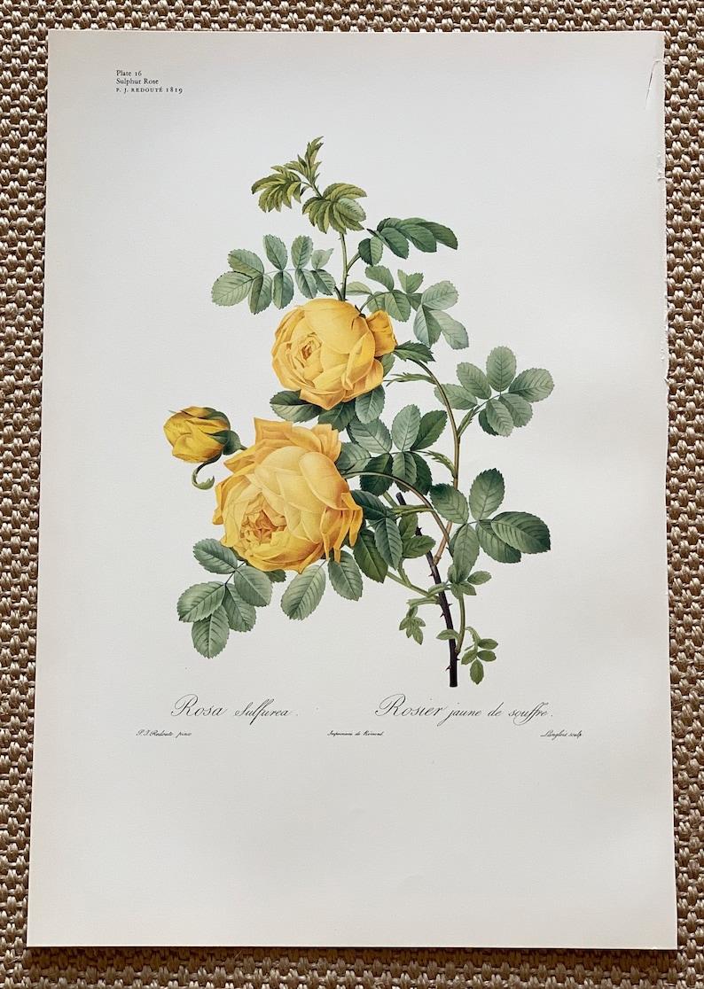 Original 1956 Vintage Large Coloured Lithograph Botanical Print Of Sulphur Rose Flower By PJ Redout\u00e9 1819 Size 19 x 13