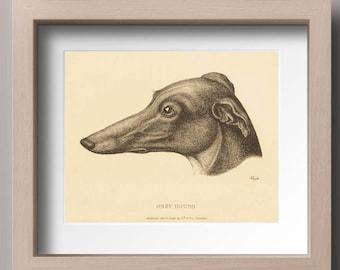 Vintage Greyhound Print, Greyhound illustration, Grayhound Art, Dog Art, Dog Illustration, Printable Art,  INSTANT DOWNLOAD