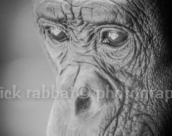 Chimpanzee Photo Fine Art Photography Animal Photography San Diego Zoo Animal Lover Kids Room Wall Art Nature Monkey Pensive Cute
