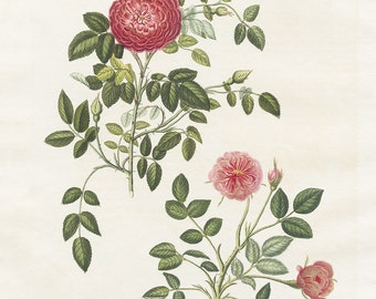 Vintage Rose Botanical, Antique Botanical Print, Gift for Plant Lover,  Kitchen Art, Farmhouse, Antique Art, Wall Decor, Cottage Art