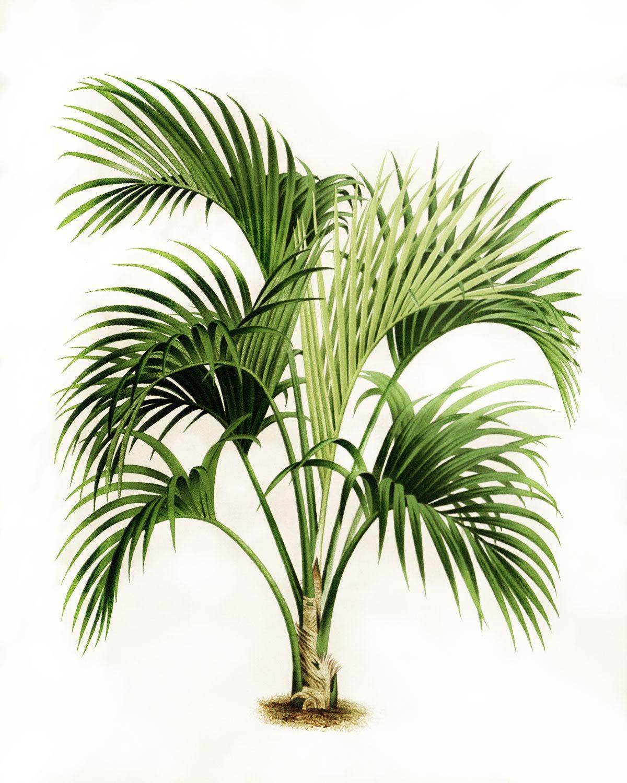 Palm Blatt botanischen Art Palme Wedel Kunst Palm Leaf | Etsy
