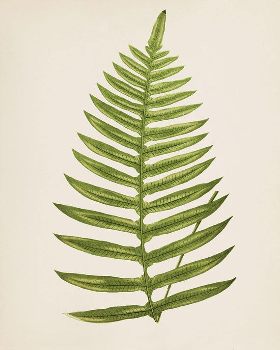 Vintage Botany Plant Southern Maidenhair Fern Fine Art Giclee Print Poster Leaf