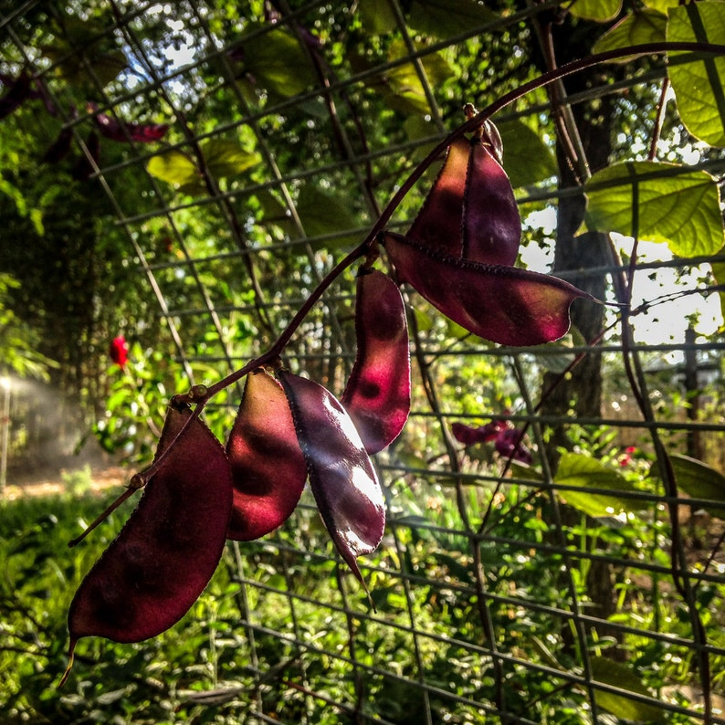 Lablab purpureus Ruby Moon Hyacinth Bean : Non-GMO Heirloom ~12 Open Pollinated Seed Packet Seeds
