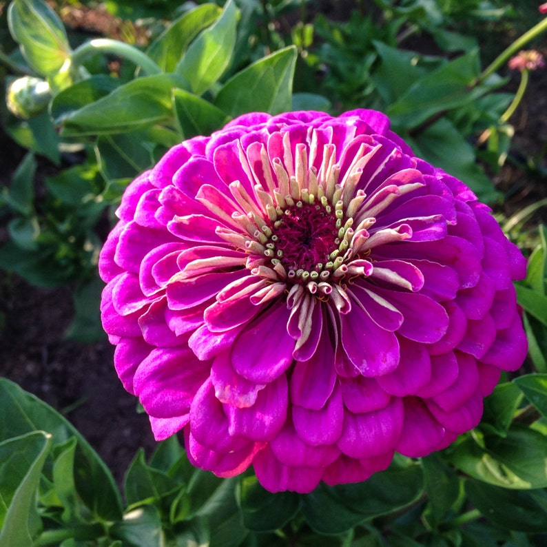 Giant Violet Zinnia Seeds (~130): Certified Organic, Non-GMO, Heirloom Seed  Packet