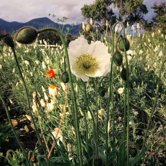 : Certified Organic ~200 White Linen California Poppy Flower Seeds Non-GMO