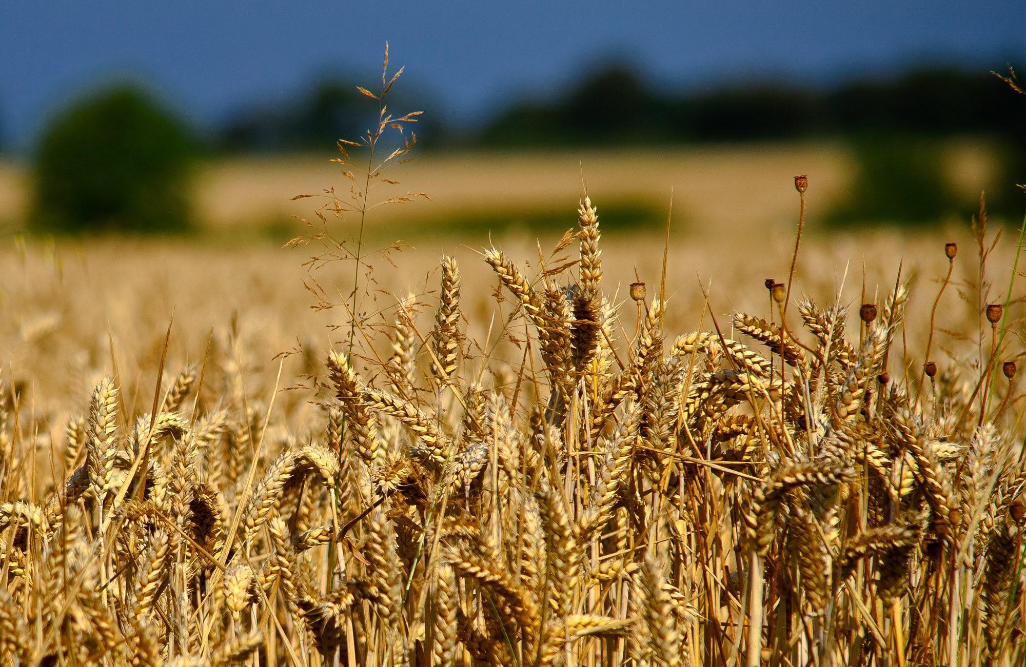 be2920f5103d3 Glenn rot hart Frühling Weizen (Triticum Aestivum) Samen (~ 200): Certified  Organic, Non-GMO, Erbstück-Saatgut-Päckchen