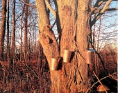 Photo Postcard - Tapping Maple Trees
