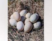 Duck Eggs Postcard
