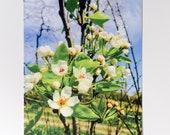 Anjou Pear Blossom Postcard