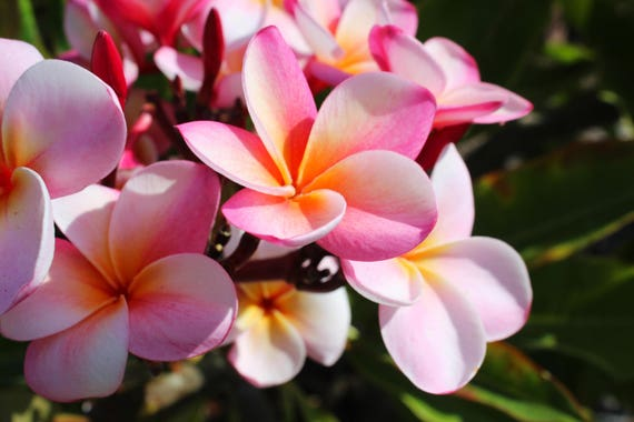 Pink Plumeria Flower Tropical Nature Oceanside San Diego Etsy
