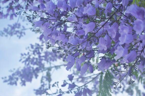 Jacaranda Tree Purple Flowers Spring San Diego California Etsy
