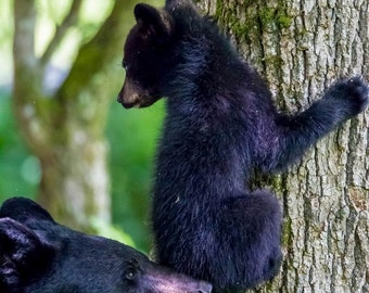 Black Bear Mother and Cub in Great Smoky Mountains. #3424