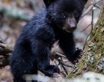 Black Bear Mother and Cubs. #2272