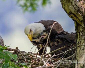 Bald Eagle and Eaglet at Lake Cumberland, Ky #7682