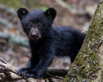 Black Bear Cub in Great Smoky Mountains. #2266