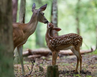 Whitetail Deer and Fawn in Great Smoky Mountains National Park. #7613