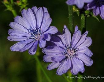 Chicory Flower #1565