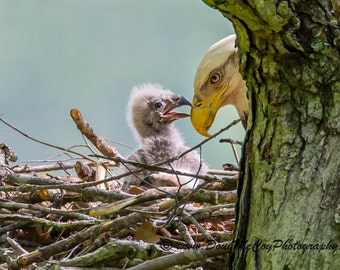Bald Eagle and chick on nest at Lake Cumberland, Ky #7813