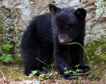 Black Bear Cub in Great Smoky Mountains National Park. #2317